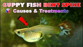 Guppy Fish Bent Spine Causes and Treatment