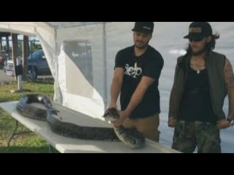 Monster 17-foot python caught in Everglades