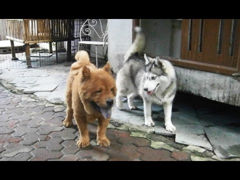Two Huskies and A Chow