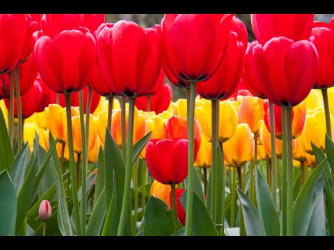 tulip flowers - wonderful flower - amazing flower - lovely tulip