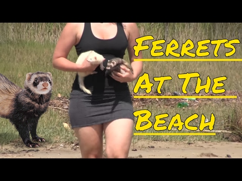 Ferrets At The Beach