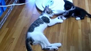 先住猫の寝込みを襲う子猫 thumbnail