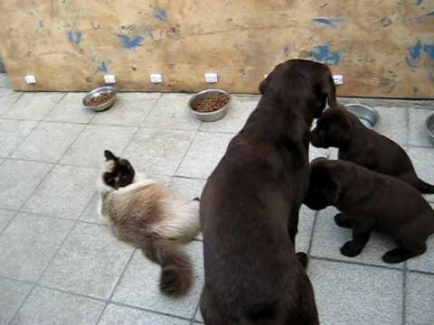 Chiots Labrador Chocolat - Lab Puppies