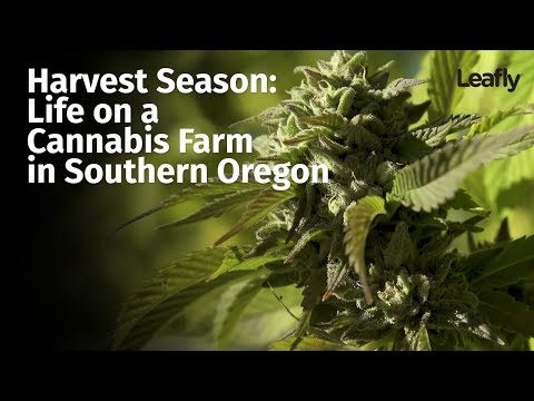 Harvest Season: Life on a Cannabis Farm in Southern Oregon