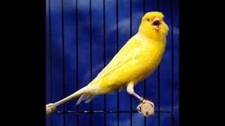 Suara Ocehan Burung KENARI Untuk Masteran KENARI GACOR Durasi Panjang