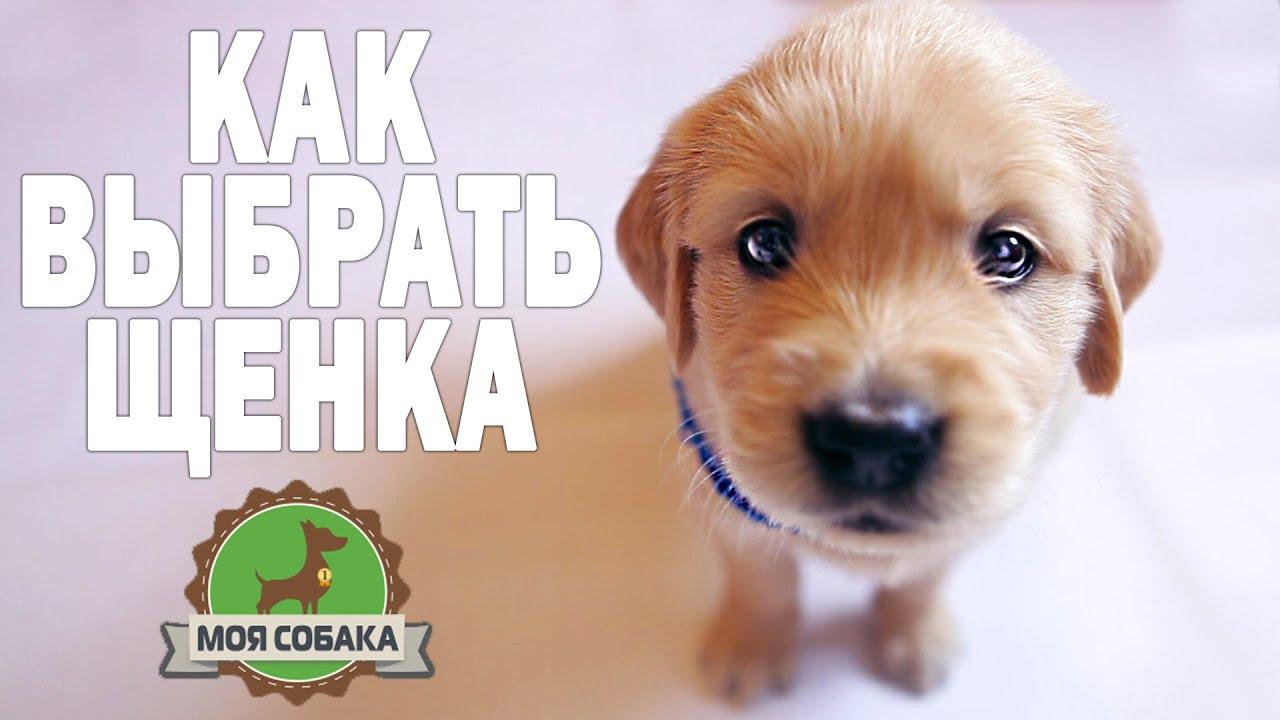 Моя собака щенок. Как выбрать щенка? Золотистый ретривер.