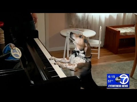 Piano-playing dog from Long Island steals Internet's heart - Buddy Mercury's Featured Story on ABC!