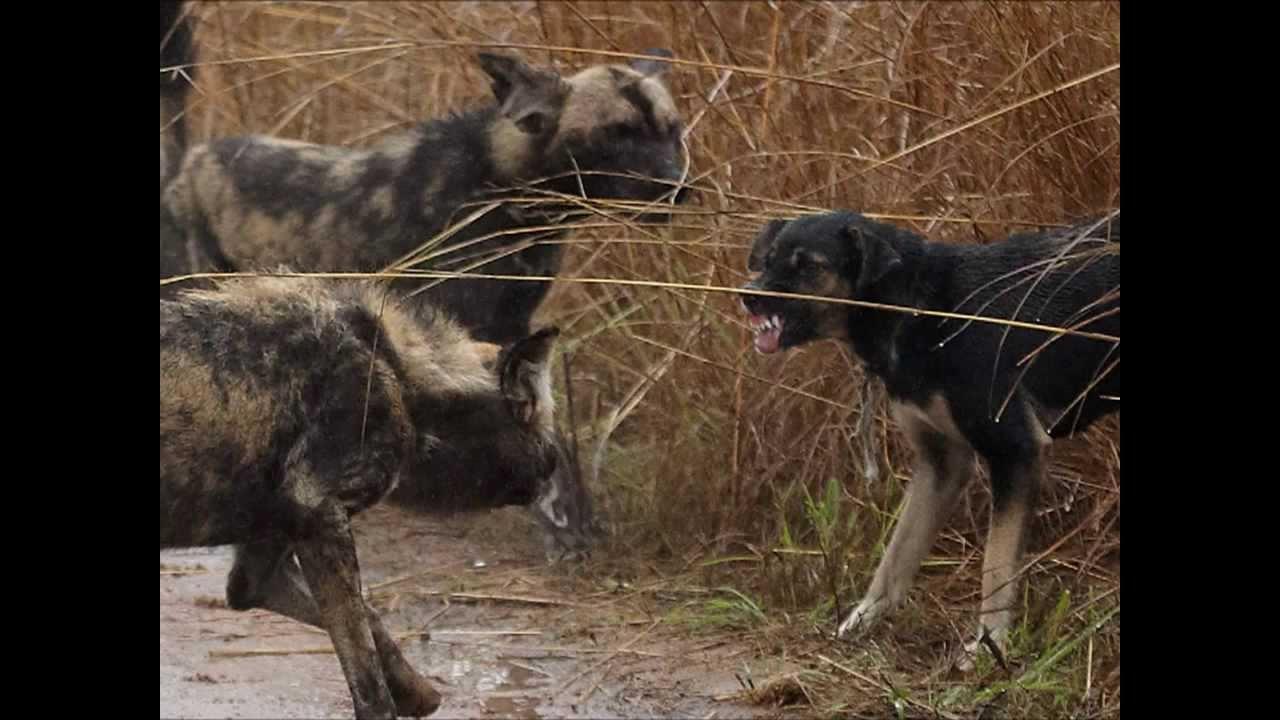 The Breed Rabid Dog