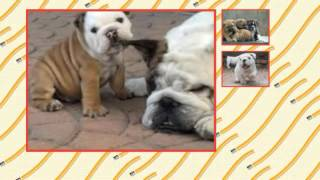 House Training French Bulldog