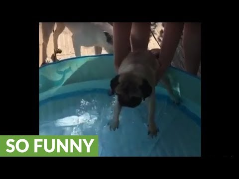 Pug desperately doggy paddles in shallow standing water