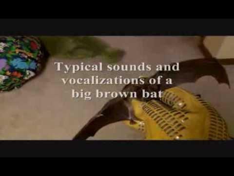 bat-sounds--what-does-a-bat-sound-like-bat-noises