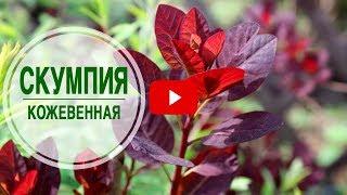 видео Разновидности деревьев и кустарников с красной листвой