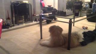 Lhasa Apso Wants To Play With Poodle