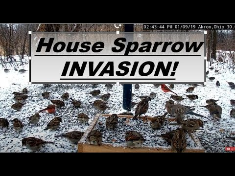 House Sparrow Invasion! Ground Feeder overwhelmed with non-native birds.
