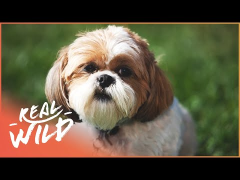 Super-smart Dog | The Dog with an IQ of 102 | Real Wild