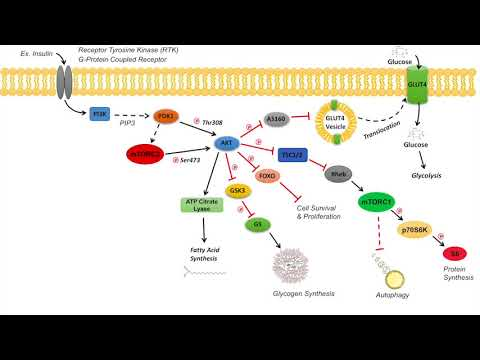 Overview of AKT Signaling Pathway | Regulation and Downstream Effects