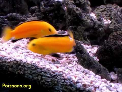 Labidochromis caeruleus - Cichlidé africain - YouTube  Labidochromis c...
