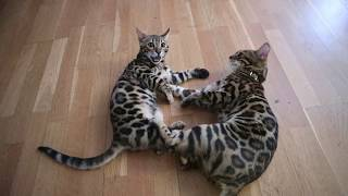 Two Bengal cat playing