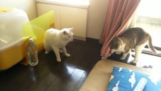 桜とシロのケンカ遊びです。 桜(メス) シロ(オス) 桜の方が先住猫で気が...