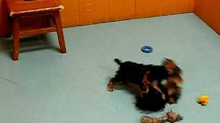 Yorkshire Terrier,puppies, For, Sale, In, San Francisco, California, Ca, Moreno Valley, Oxnard