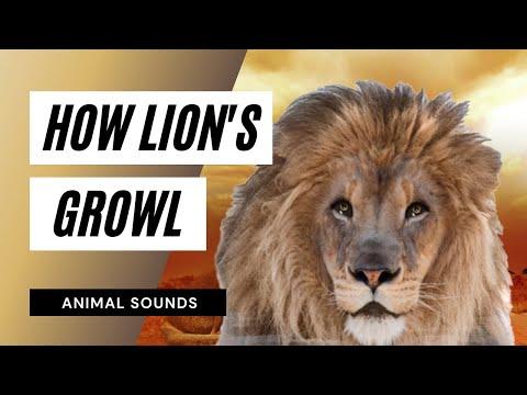 Lion roar sound effect (2)   Doovi - photo#26