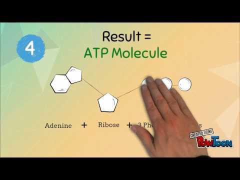 ATP - ADP Cycle