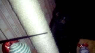 Приучаем котенка к когтеточке.