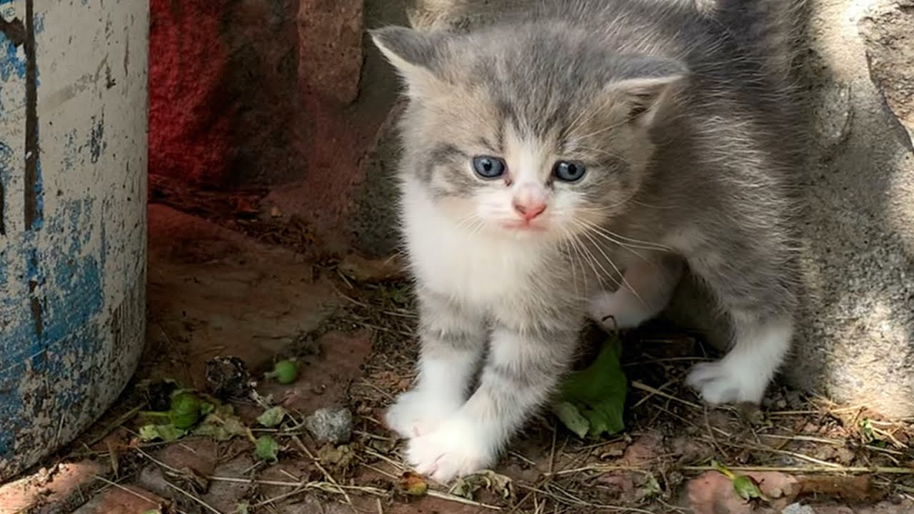 Kitten Johnny scared his mom cat on the street and hisses / 1 months after birth