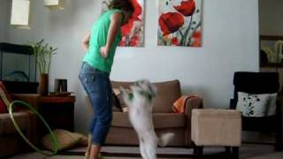 Dancing Dog - Shih tzu