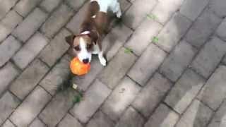 Elli Di Live. Как научить собаку просить. Как научить команде голос.  Джек рассел просит.