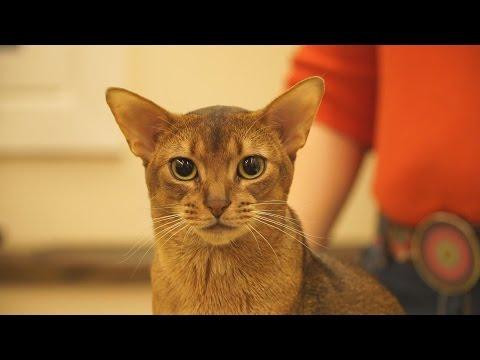 Презентация абиссинских кошек в котокафе «Котики и Люди». Стандарт породы