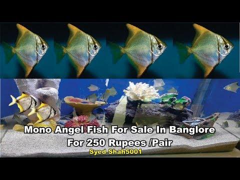 Mono Angel Fish In Sanju Aquarium Store