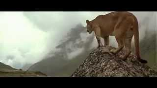 Cougar Attacking a Bear . Really Awesome Video !