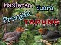 Masteran Suara Burung Prenjak Jantan Tarung Durasi Panjang Tiada Jeda  Mp3 - Mp4 Download