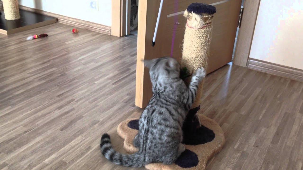 Новорожденные британские шоколадные и лиловые котята - YouTube