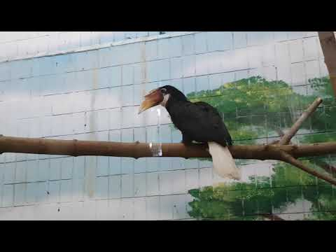 A pair of Blyth's hornbills