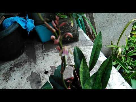 Mostrando cultivo da Orquídea Encoclades maculata, ela está em flor
