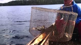 установка ловушки и ловли рыбы видео