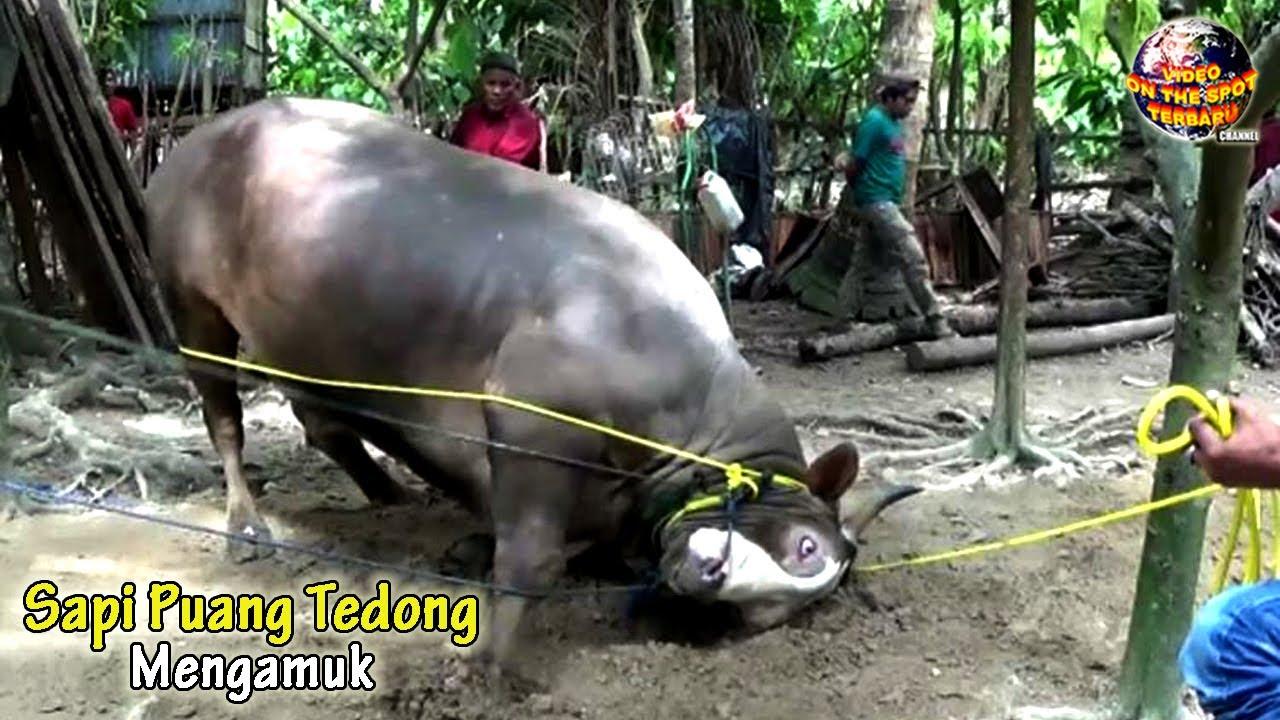 Kabur Saat Mau di P0TONG, Sapi Presiden Jokowi NGAMUK // Momen² Sapi Ngamuk 2020