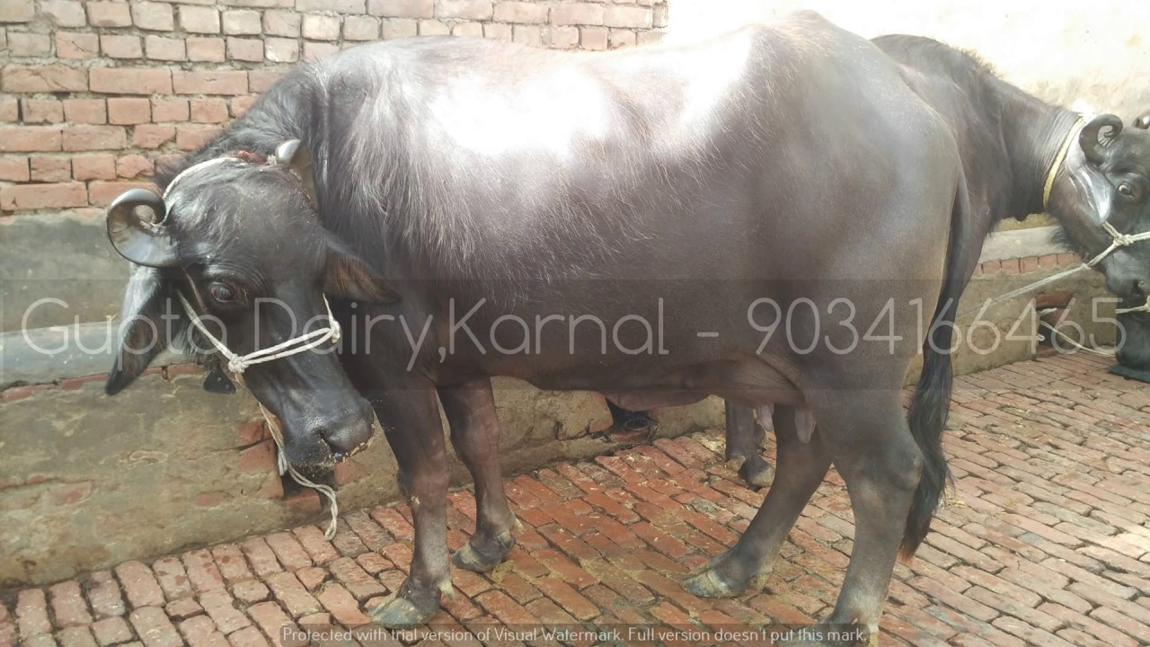 (005) Murrah buffalo for sale in Haryana 9034166465