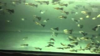 Продажа аквариумной рыбы оптом