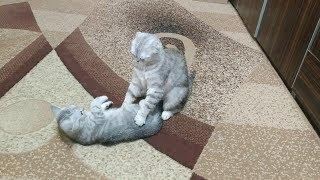 КОШКА РУГАЕТ КОТЕНКА 😻 Кошка Скоттиш фолд и Кот Скоттиш страйт 🐱 Scottish Fold Cat Kitten