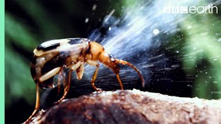 Bombardier Beetle Sprays Acid From Its Rear | Life | Bbc Earth