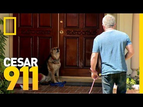 All Bark and Hopefully No Bite  Cesar 911