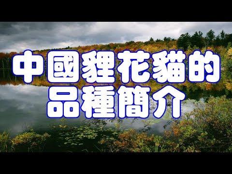 中國貍花貓的品種簡介