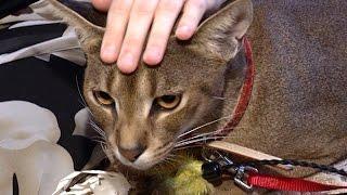 В Краснодаре разводят уникальную породу кошек