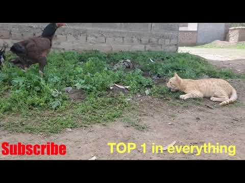 Rooster vs Cat fight original video