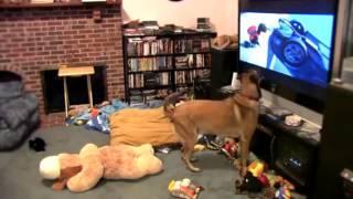 Собака эмоционально смотрит мультфильм Вольт