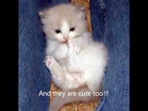 Kitten Power! Funny ragdoll kittens run the world.