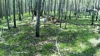 Медведь в петле, при травка собак